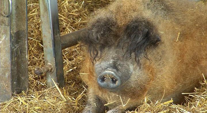 Cochons Laineux le retour du cochon laineux - matélé